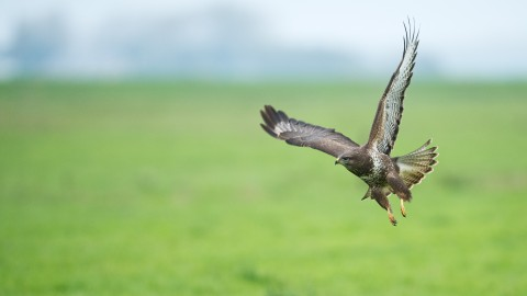 Roofvogels van de Oostvaardersplassen – Lelystad