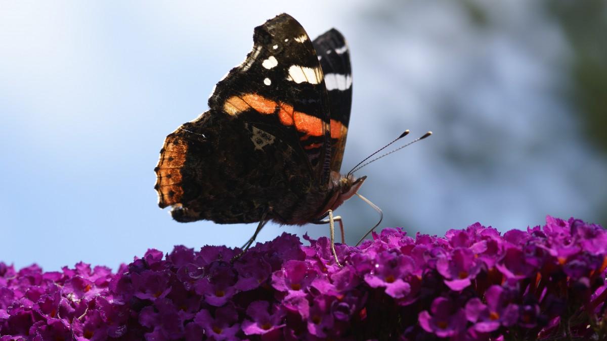 Meer dan 100.000 vlinders gezien tijdens Nationale Tuinvlindertelling